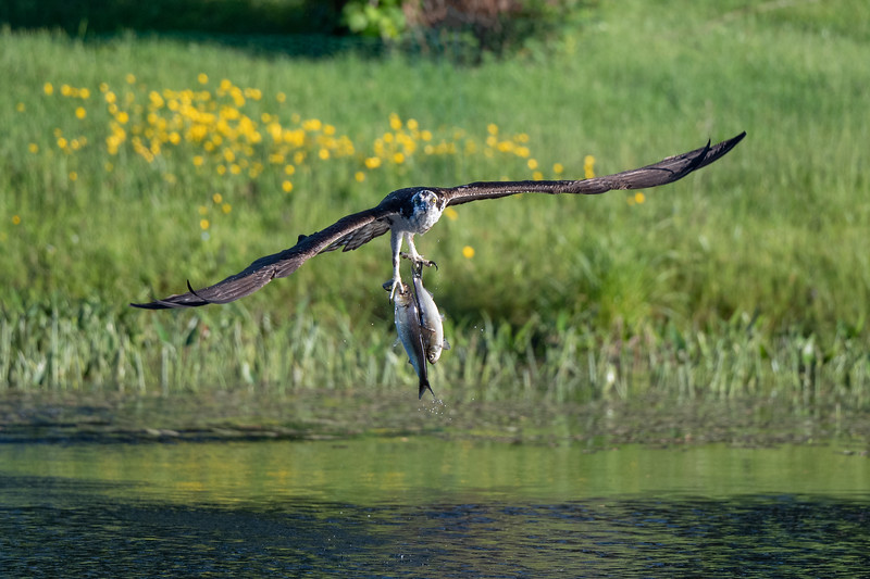 #1427 Osprey