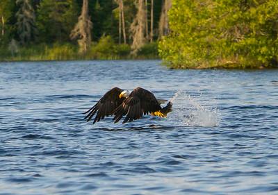 Canada eagles 2014