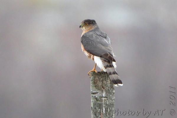 2011-11-28 Riverlands Migratory Bird Sanctuary