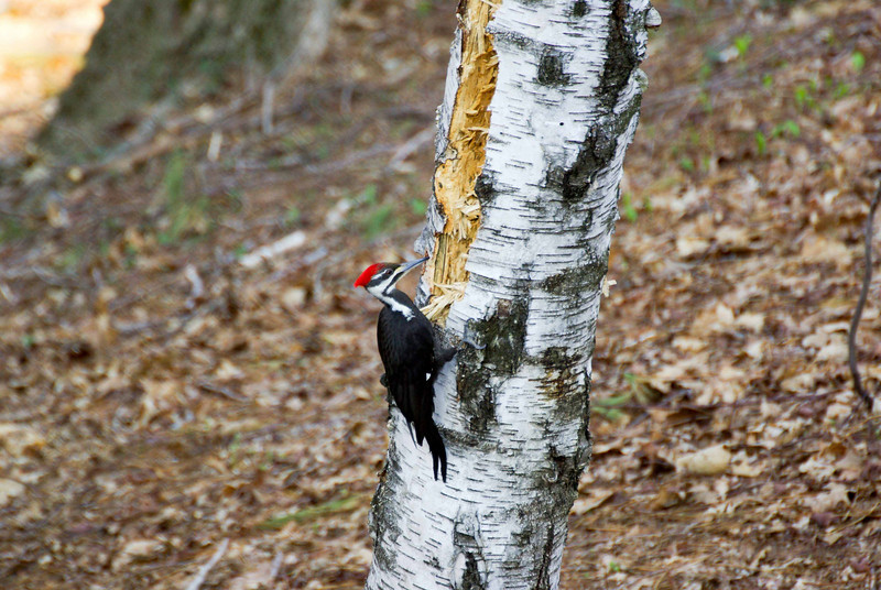 Backyard woodpecker (2 of 7)