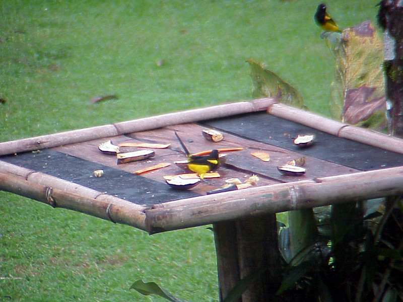 Black-cowled Oriole at El Gavilan Lodge Costa Rica 2-11-03-1 (50898051)