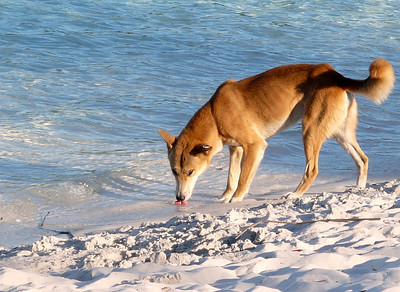 Fraser Island - Rainforest and Dingoes