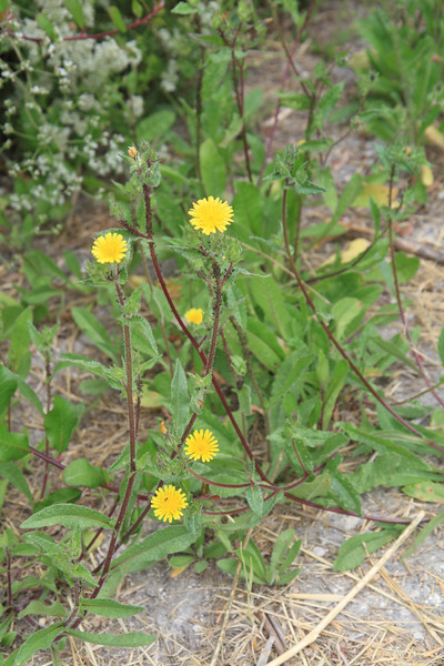 Sow Thistle, Sonchus oleraceus, not native