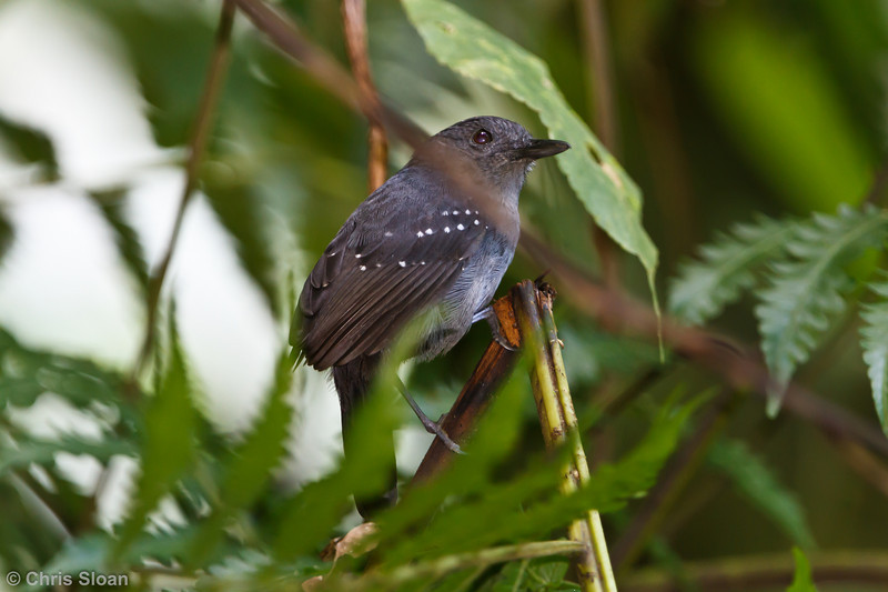 Spot-winged Antbird intensa at La Escalera including Tunnel Area, Tarapoto, Peru (07-03-2010)-1.jpg