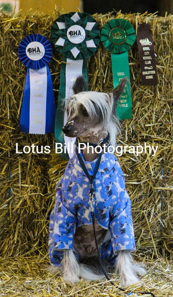 Chinese Crested (22 of 30).jpg