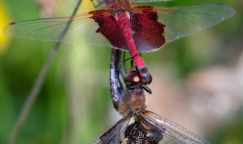Mating-dragonflies-close-up.jpg
