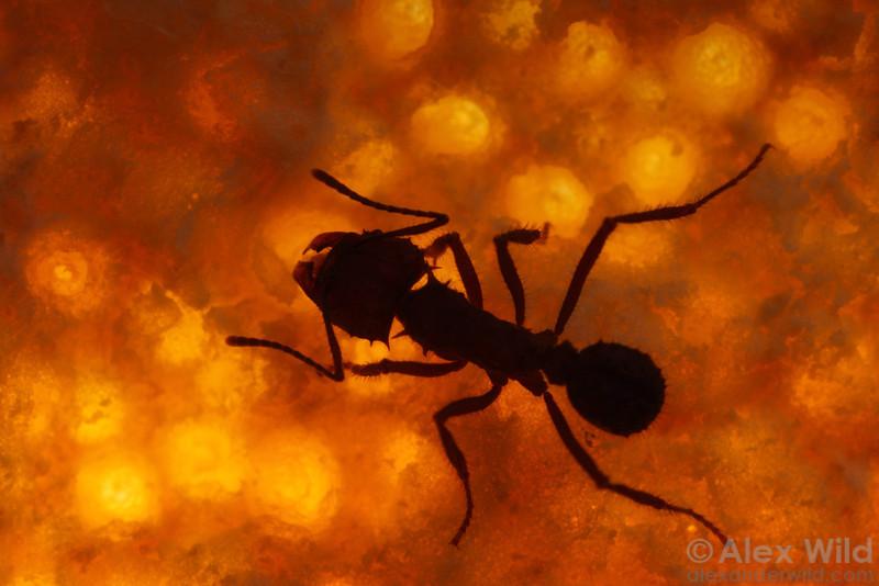 Acromyrmex sp. cf. hispidus cuts an orange peel.  Laboratory colony at the University of Wisconsin