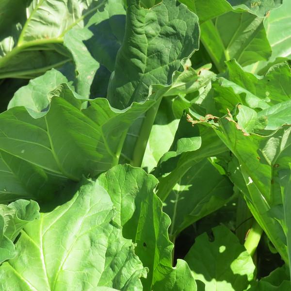 rhubarbe leaves.JPG