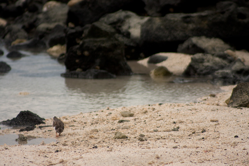 Bird Looking for more Food : Journey into Genovesa Island in the Galapagos Archipelago