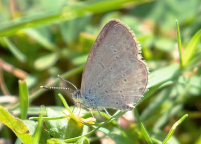 Hawaiian Common Blue