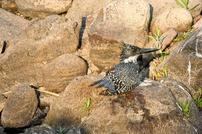 Giant Kingfisher (Mala Mala Game Reserve, South Africa)