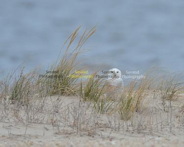 12-28-17 Owls n geese. Eastern shore