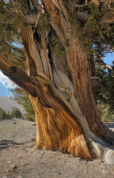 Bristlecone Pine - Patriarch Grove - White Mountains, California