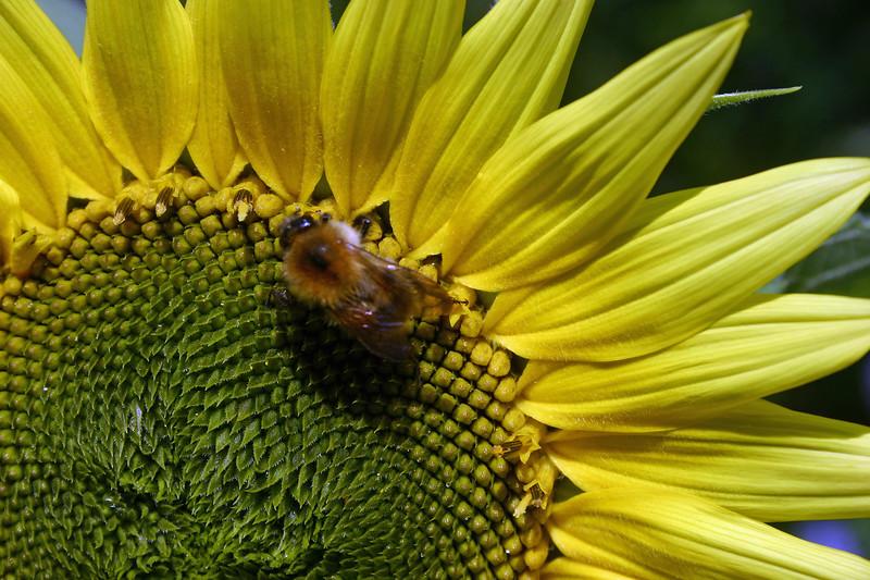 Bee and Sunflower.jpg