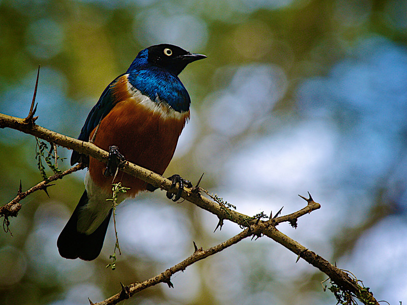 Verdens vanligste fugl? Noen har sagt det, men jeg har ikke peiling på hva den heter. Lake Naivasha, oktober 2007. *** The most common bird in the world? Someone told me so, but I don't have a clue what it's called or whether it is true. Could it be the blue weaver? By Lake Naivasha, October 2007. (Foto: Geir)