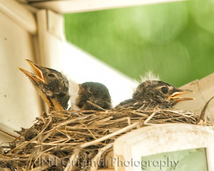 067 Baby Robins Spring 2013.jpg