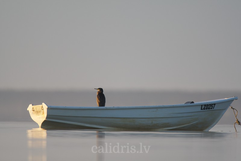 Great Cormorant sits in a boat