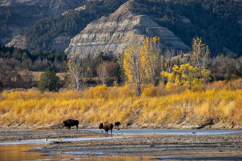 Bison along Little Missouri River Theodore Teddy Roosevelt National Park Medora ND IMGC0827-2.jpg