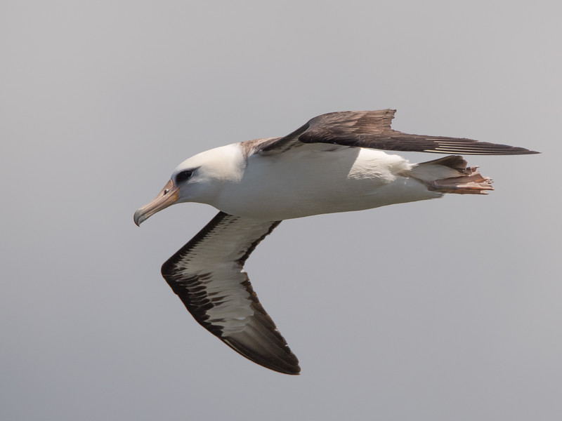 Laysan Albatross flying over Kilauea Point.