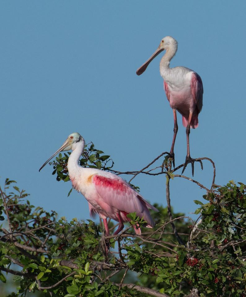 Spoonbills on the island