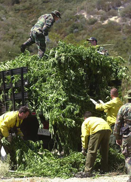 . U.S. Forest Service firefighters help authorities load a truck with marijuana plants that were chopped down in Lytle Creek, Calif.,  Tuesday, Sept. 12, 2000. Approximately 15,000 plants in six seperate gardens were discovered by a police helicopter. The street value of the marijuana is estimated at $24 million. (AP Photo/Steven K. Doi)