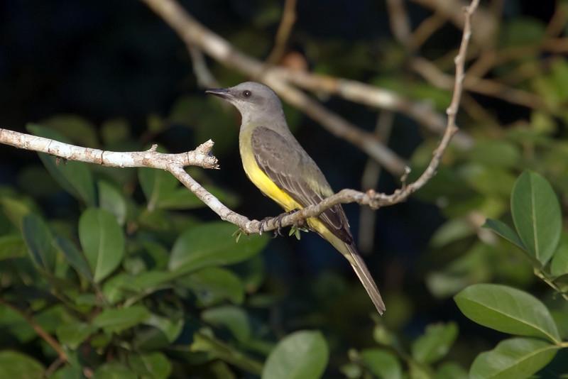 Tropical Kingbird at Cocha Blanco near Manu Wildlife Center, Peru (2008-07-10).psd