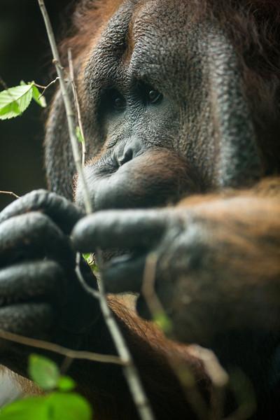 Orangutans 2012