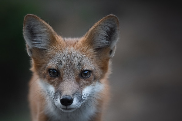 Foxes of the Pacific Northwest