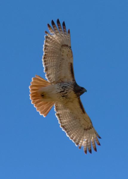 Redtail Hawk Soaring
