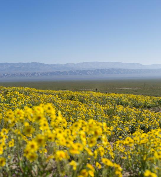 sea of yellow to Matt.jpg