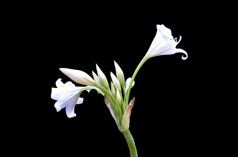 Crinum White Queen
