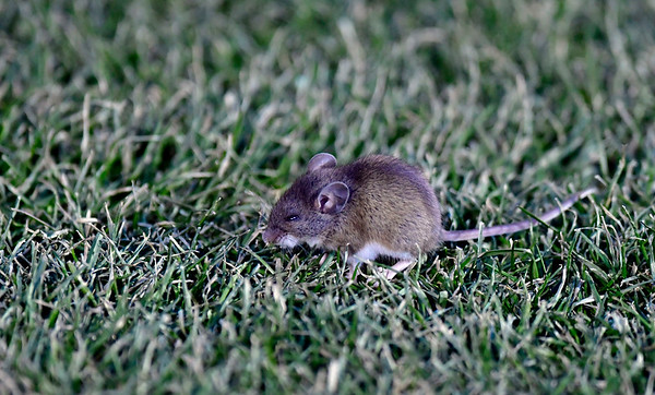 11/24/2018 Mike Orazzi | Staff A field mouse during Saturday's UConn football game with Temple at Rentschler Field in East Hartford.