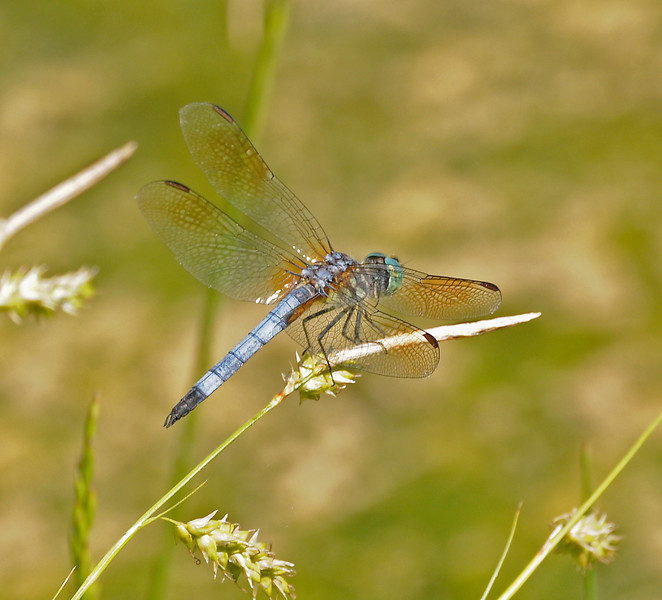 Pachydiplax longipennis (Blue Dasher) - male
