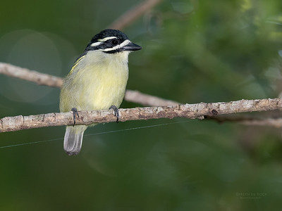 Yellow-rumped Tinkerbird (Pogoniulus bilineatus)