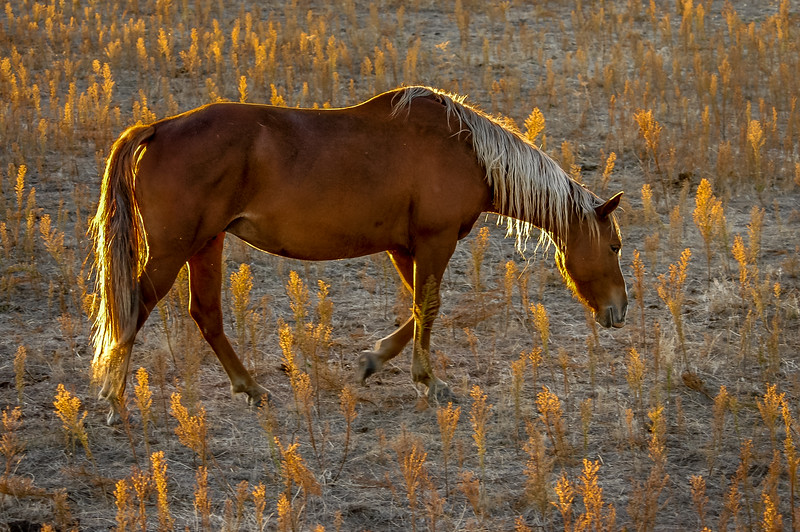 Backlit Wild Horse Walking #1