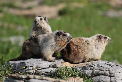 08 10 Marmots