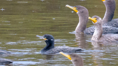 Neotropic cormorant @ Mission Valley 12/7/2019