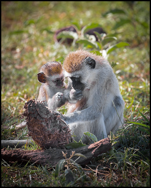 Vervet monkeys, Lake Manyara NP