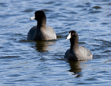 Grebes | Cormorants | Loons, Coots