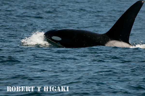 Orcas( Orcinus orca)