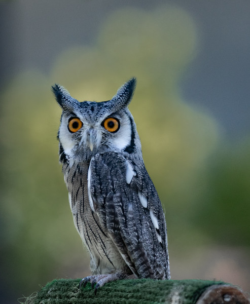 White-Faced Scops Owl on perch