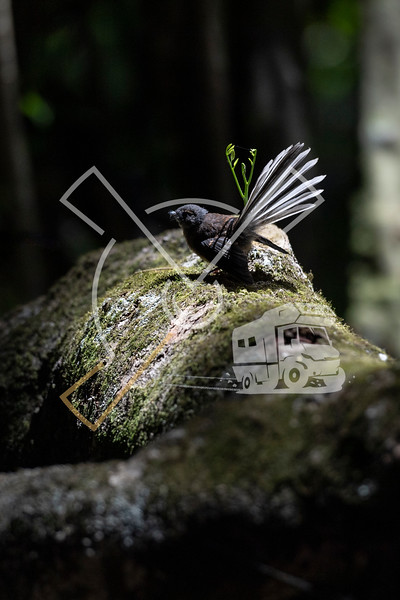 Fantail sitting on a rock with its tail open in Kerikeri, New Zealand.