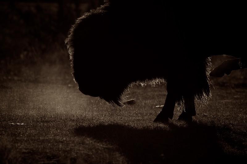 Bison Yellowstone N.P. WY IMG_0068270.jpg