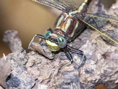 Lancet Clubtail (Gomphus exilis)