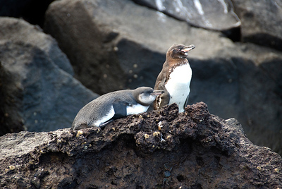 Galapagos: Mariela Islands, Elizabeth Bay, Isabela Island