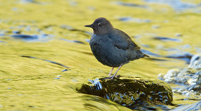 Kinglets and Dippers
