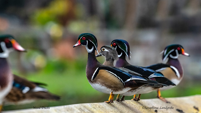 _DS01791Wood Ducks.jpg