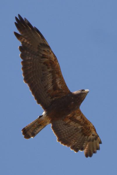 Swainson's Hawk dark morph adult (8) at Firebaugh, CA (07-18-2009)