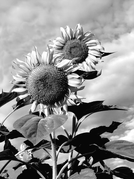 amh FLOWERS (1925).jpg