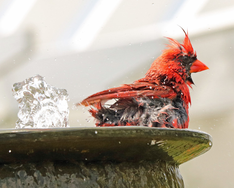 Cardinal in fountain 2